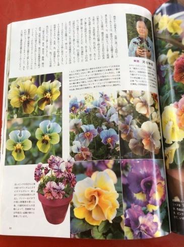 宮崎のスペシャルなビオラ達もビズ[秋号]の紙面を彩っています_b0137969_08274424.jpg