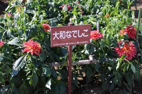 恋&愛の機微のダリヤが咲いている川西ダリヤ園・・・15_c0075701_6473652.jpg
