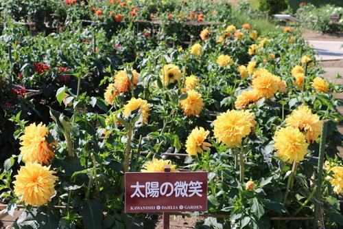恋&愛の機微のダリヤが咲いている川西ダリヤ園・・・15_c0075701_6475940.jpg