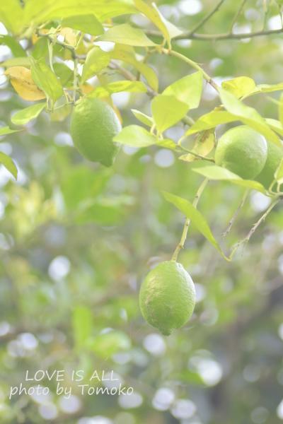レモンの木_c0345348_18472432.jpg