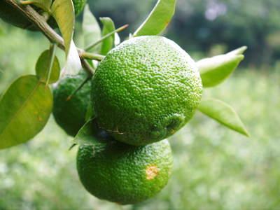 香り高き柚子(ゆず) 柚子こしょう用の香り高き『青柚子』 9月25日(金)より出荷します!!_a0254656_1713556.jpg