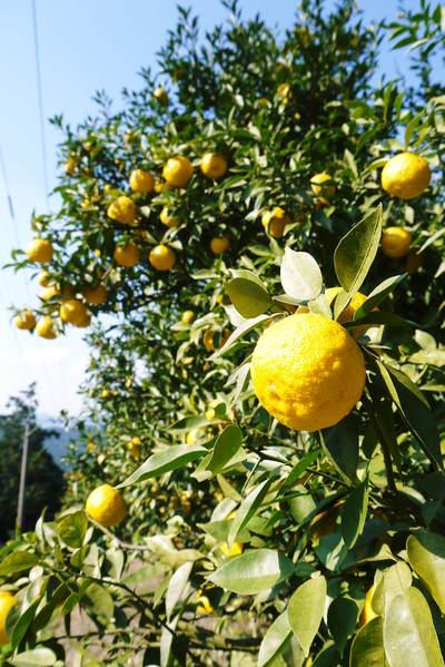 香り高き柚子(ゆず) 柚子こしょう用の香り高き『青柚子』 9月25日(金)より出荷します!!_a0254656_1733636.jpg