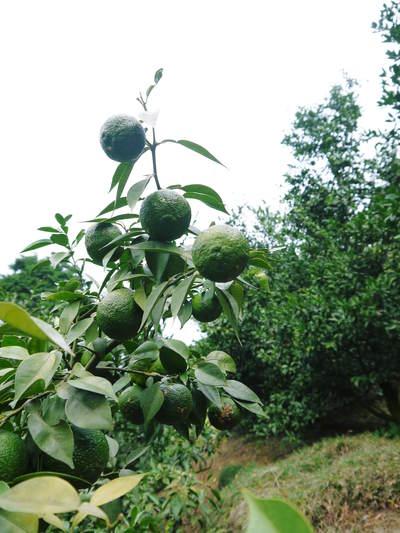 香り高き柚子(ゆず) 柚子こしょう用の香り高き『青柚子』 9月25日(金)より出荷します!!_a0254656_18565188.jpg