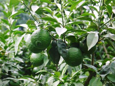香り高き柚子(ゆず) 柚子こしょう用の香り高き『青柚子』 9月25日(金)より出荷します!!_a0254656_1885185.jpg