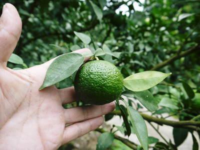 香り高き柚子(ゆず) 柚子こしょう用の香り高き『青柚子』 9月25日(金)より出荷します!!_a0254656_198771.jpg