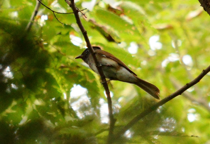 本家・水元公園野鳥情報  サンコウチョウの乱_d0121678_16575733.jpg