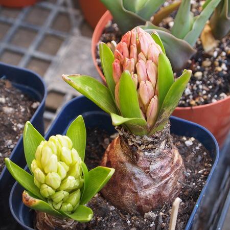 球根の鉢植え栽培_a0292194_22401650.jpg
