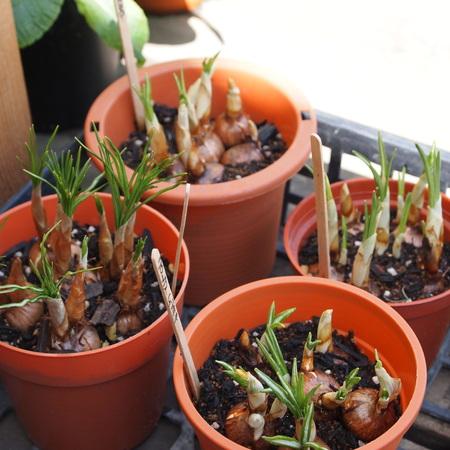 球根の鉢植え栽培_a0292194_2240372.jpg
