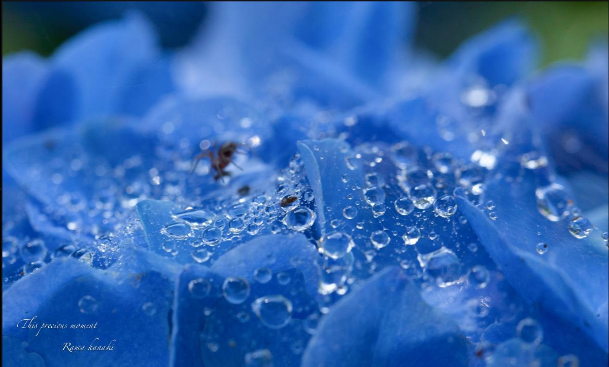 雨上がりの紫陽花_c0137403_15192115.jpg