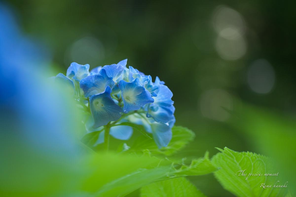 雨上がりの紫陽花_c0137403_15193048.jpg