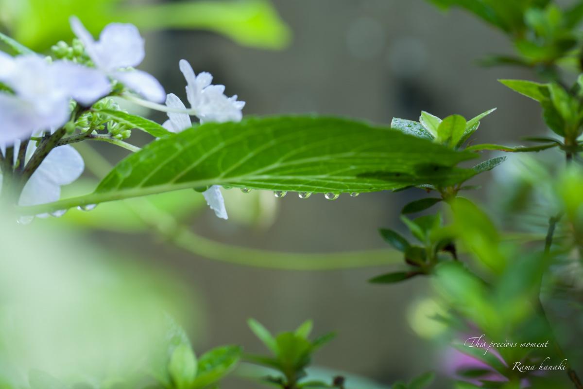 雨上がりの紫陽花_c0137403_15194353.jpg