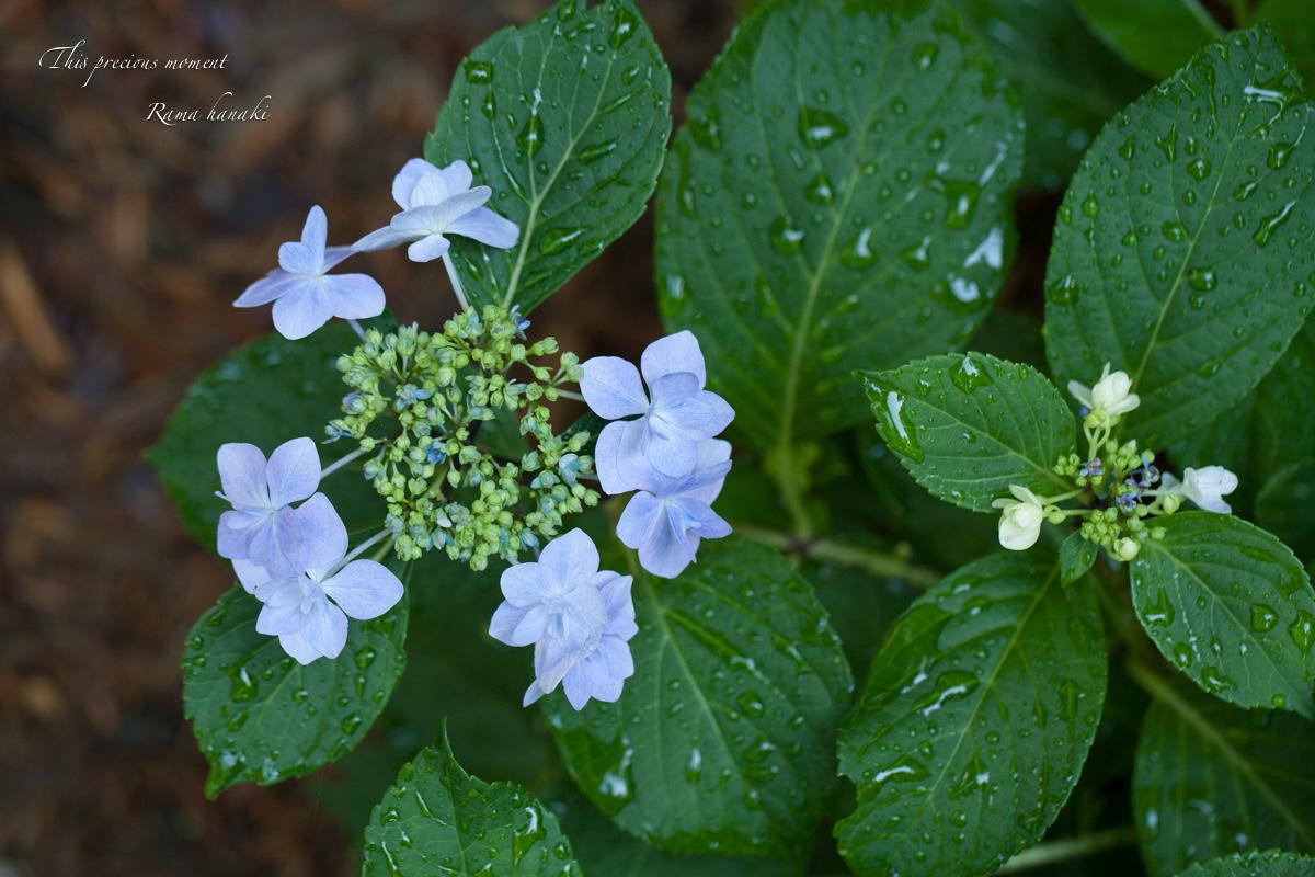 雨上がりの紫陽花_c0137403_1519487.jpg