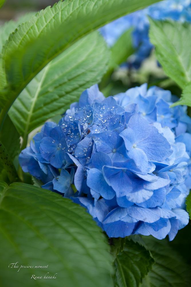 雨上がりの紫陽花_c0137403_15335858.jpg