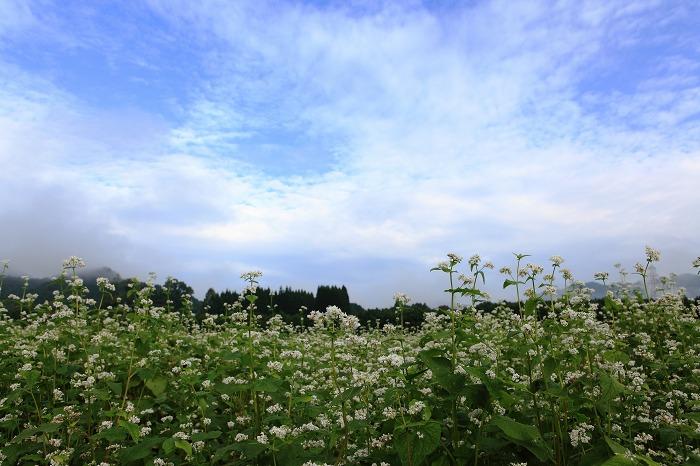 蕎麦の花 満開_a0294534_20333661.jpg
