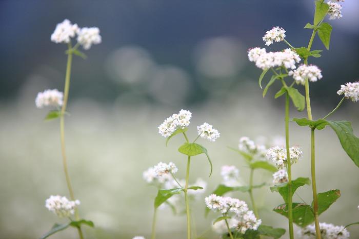 蕎麦の花 満開_a0294534_20433336.jpg