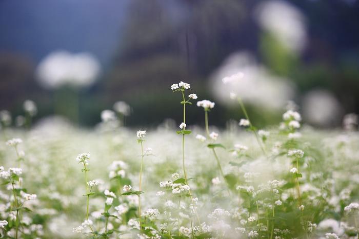 蕎麦の花 満開_a0294534_20474199.jpg