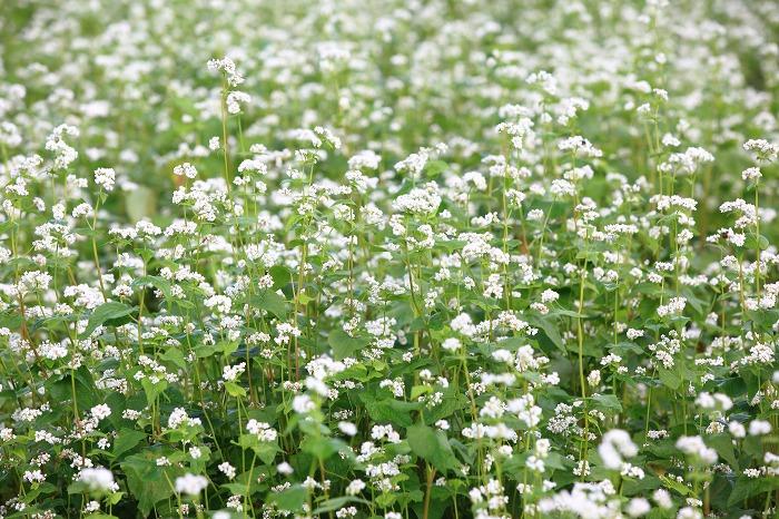 蕎麦の花 満開_a0294534_20485250.jpg