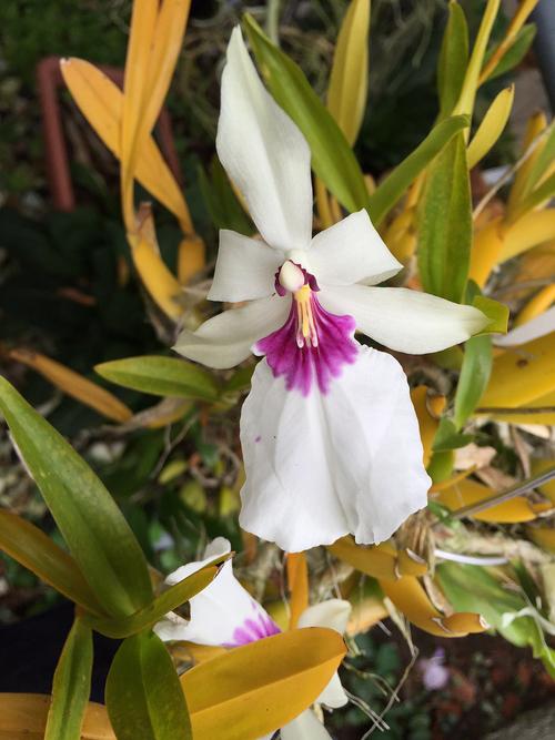 Milt.spectabilis f.semi-alba_d0007501_13445422.jpg