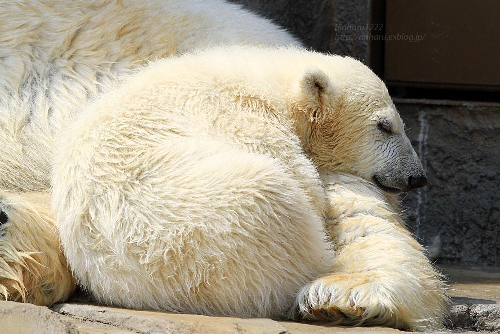 2015.4.30 円山動物園☆ホッキョクグマのララとリラ<その1>【Polar bear】_f0250322_22515648.jpg
