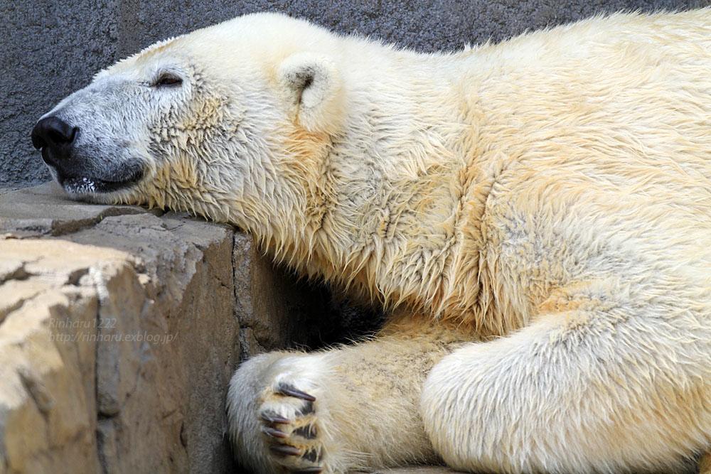 2015.4.30 円山動物園☆ホッキョクグマのララとリラ<その1>【Polar bear】_f0250322_2252043.jpg