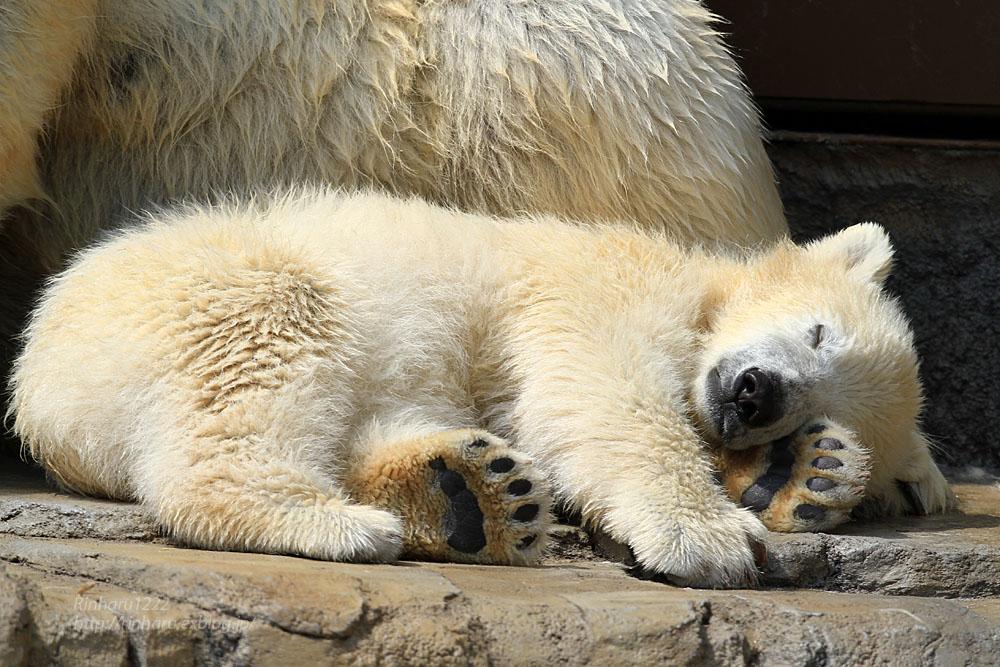 2015.4.30 円山動物園☆ホッキョクグマのララとリラ<その1>【Polar bear】_f0250322_2252105.jpg