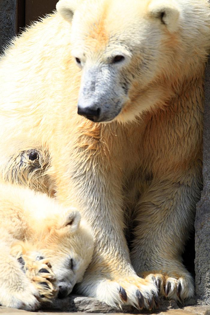 2015.4.30 円山動物園☆ホッキョクグマのララとリラ<その1>【Polar bear】_f0250322_22521428.jpg