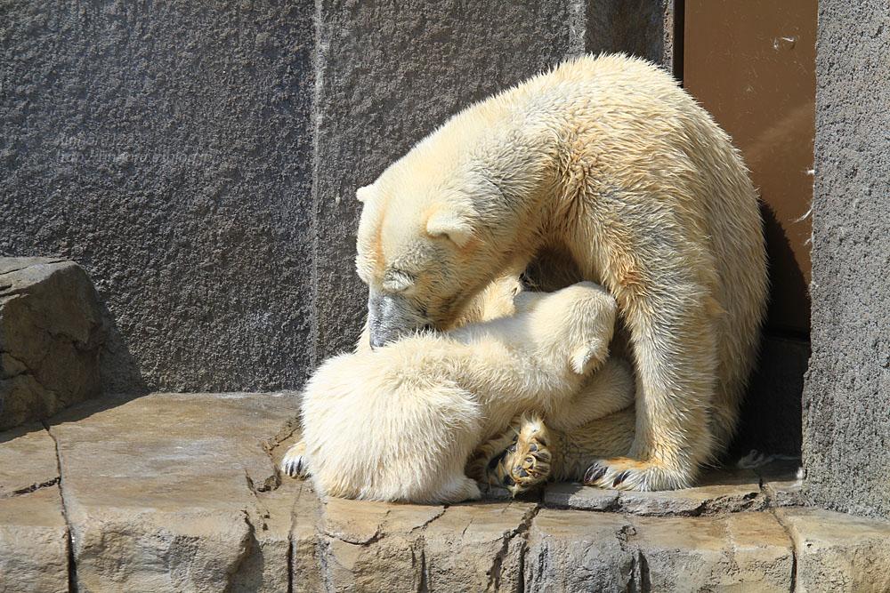 2015.4.30 円山動物園☆ホッキョクグマのララとリラ<その1>【Polar bear】_f0250322_22522540.jpg