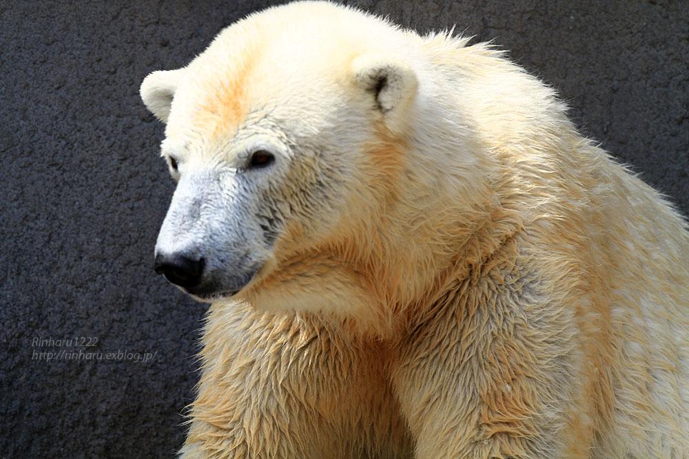 2015.4.30 円山動物園☆ホッキョクグマのララとリラ<その1>【Polar bear】_f0250322_2252714.jpg