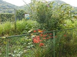 里山に朱色のいろどり、ヒガンバナ_e0175370_20134240.jpg