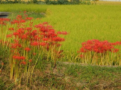 里山に朱色のいろどり、ヒガンバナ_e0175370_20144926.jpg