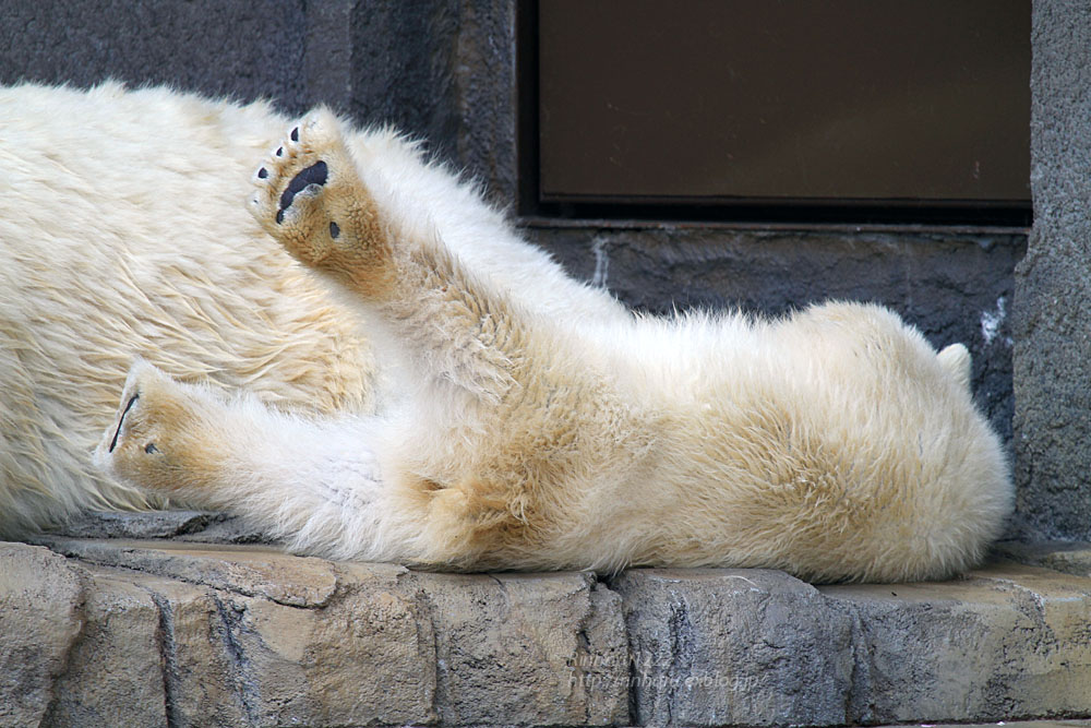 2015.4.30 円山動物園☆ホッキョクグマのララとリラ<その2>【Polar bear】_f0250322_18572518.jpg