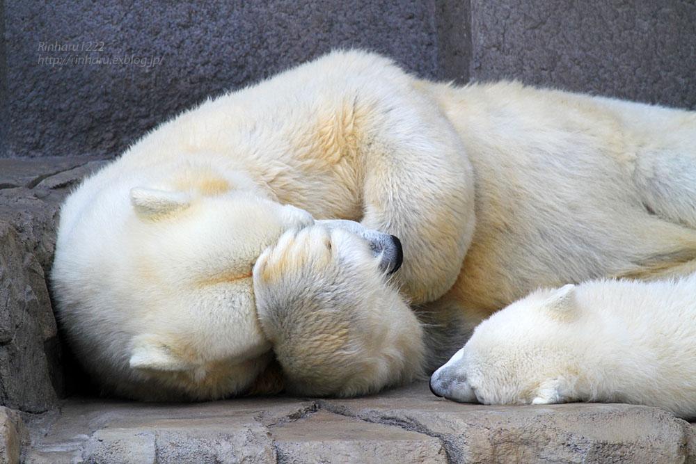 2015.4.30 円山動物園☆ホッキョクグマのララとリラ<その2>【Polar bear】_f0250322_1857353.jpg