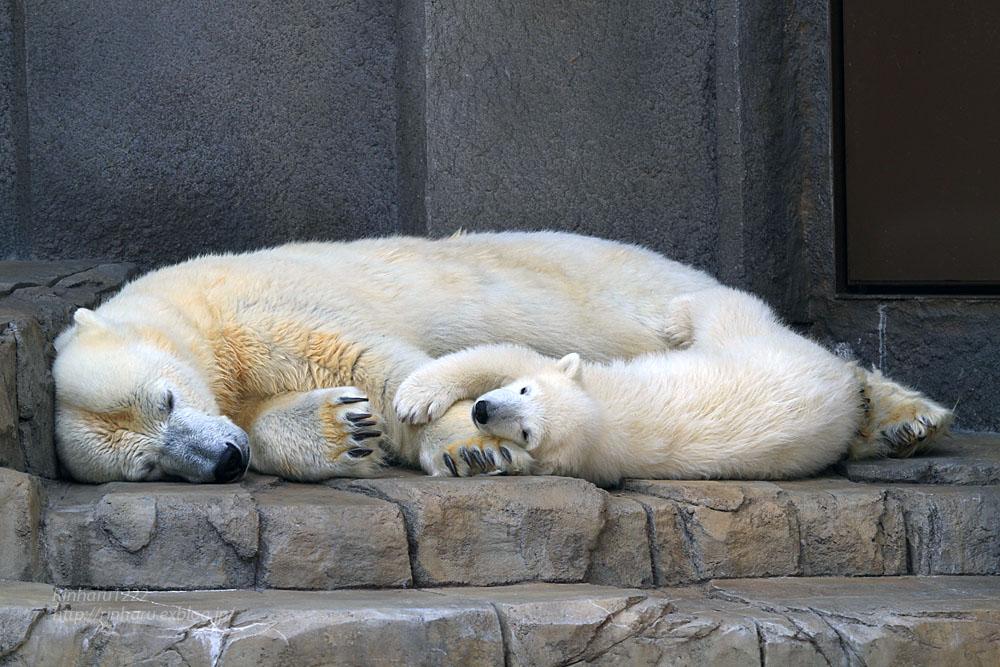 2015.4.30 円山動物園☆ホッキョクグマのララとリラ<その2>【Polar bear】_f0250322_1857625.jpg