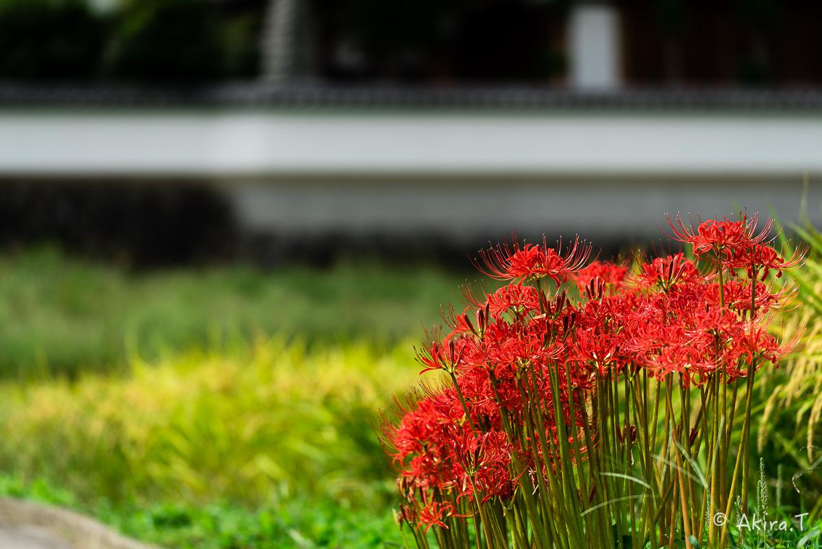 京都 大原の里の彼岸花 -1-_f0152550_18544289.jpg