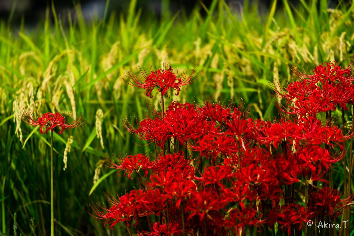 京都 大原の里の彼岸花 -1-_f0152550_18545633.jpg