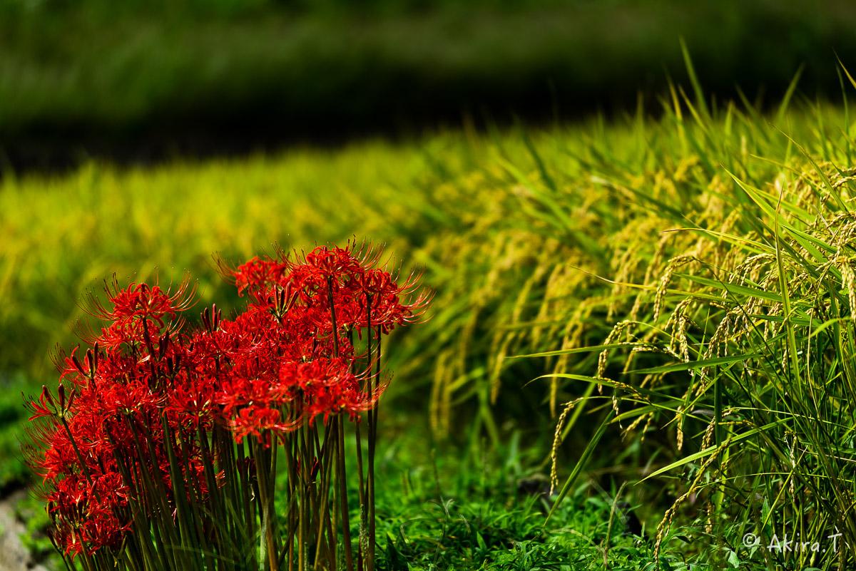 京都 大原の里の彼岸花 -1-_f0152550_1855257.jpg