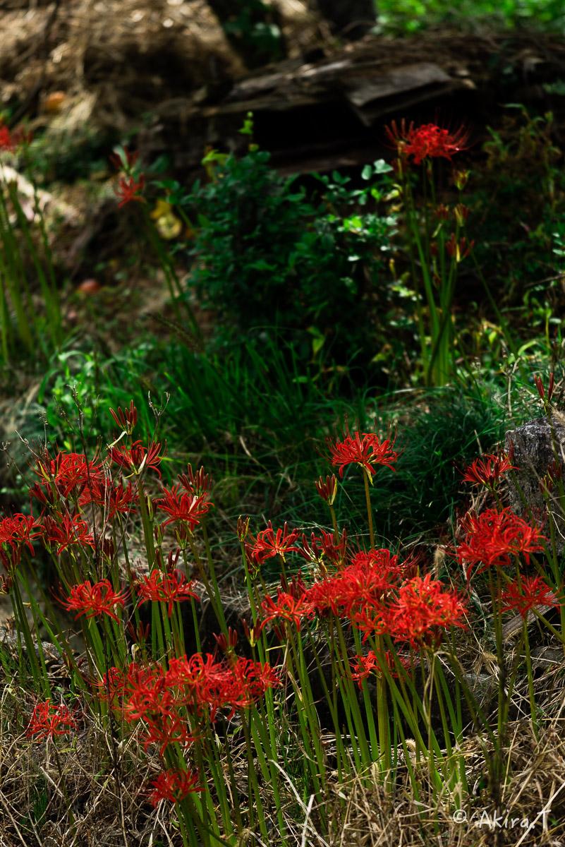 京都 大原の里の彼岸花 -1-_f0152550_1855424.jpg