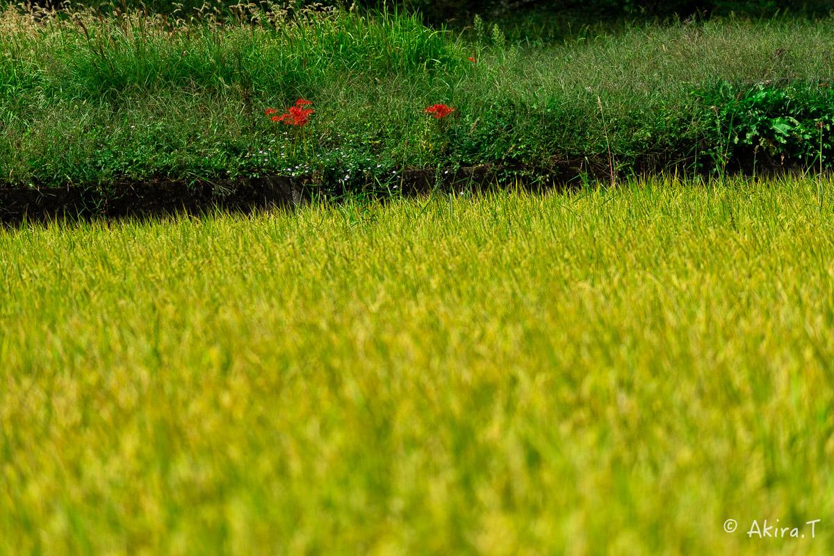 京都 大原の里の彼岸花 -1-_f0152550_18555732.jpg