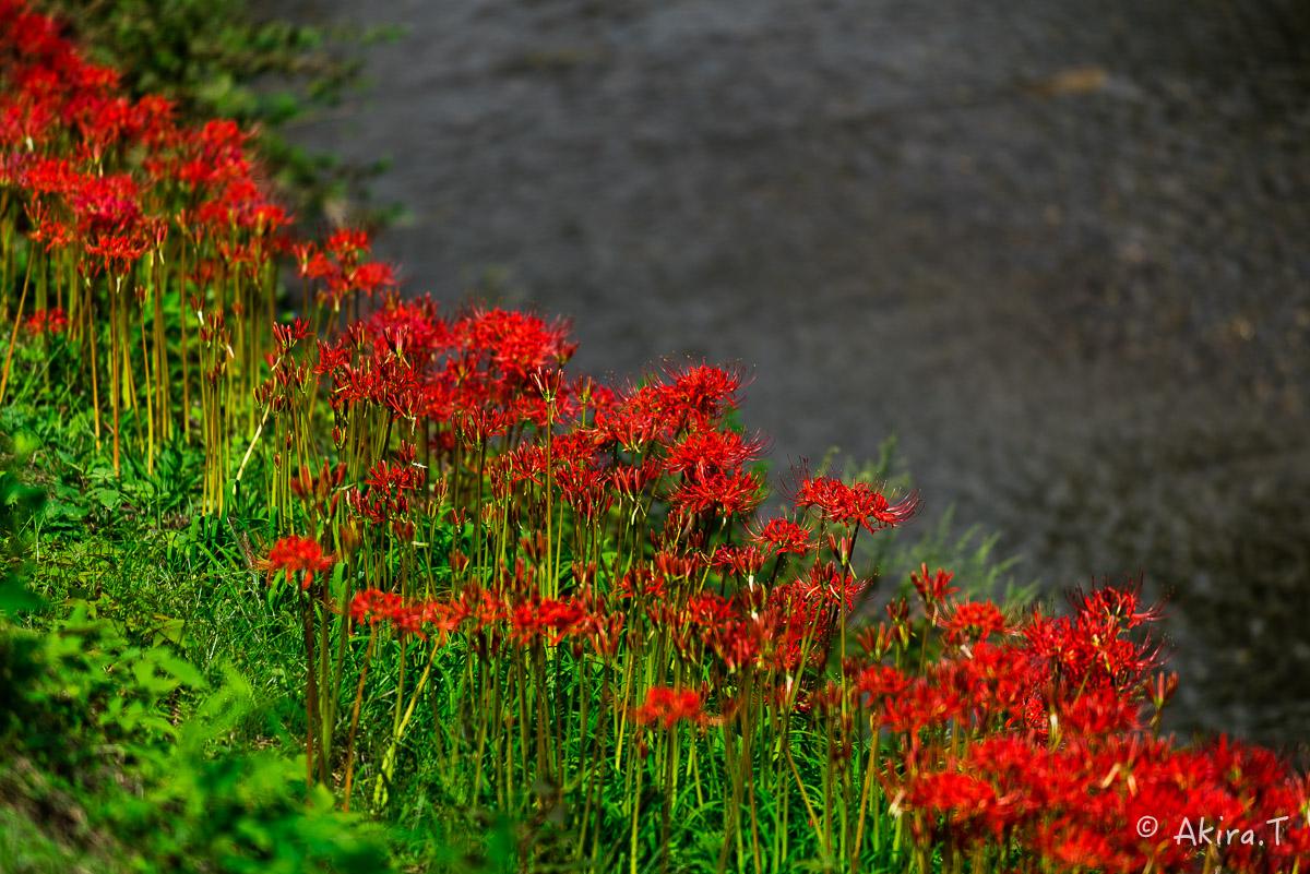 京都 大原の里の彼岸花 -1-_f0152550_18561290.jpg
