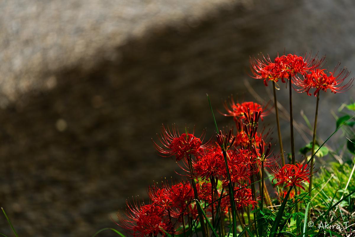 京都 大原の里の彼岸花 -1-_f0152550_18564516.jpg