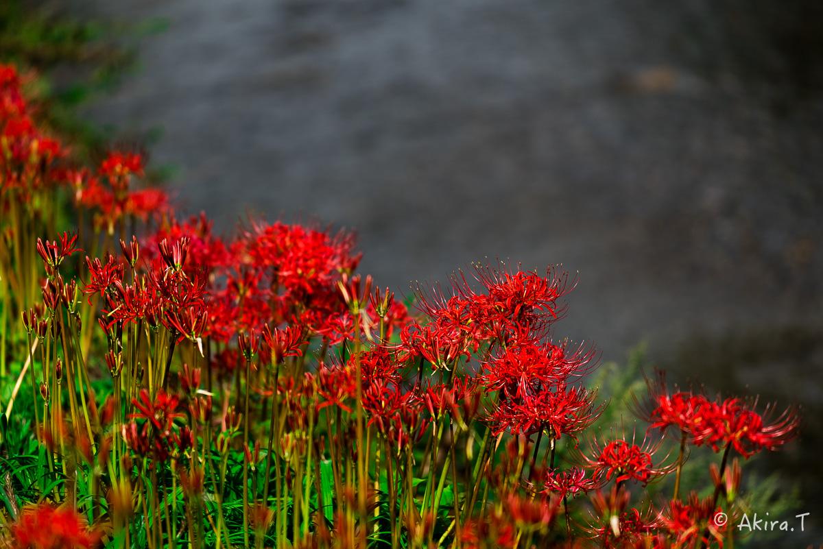 京都 大原の里の彼岸花 -1-_f0152550_18572344.jpg