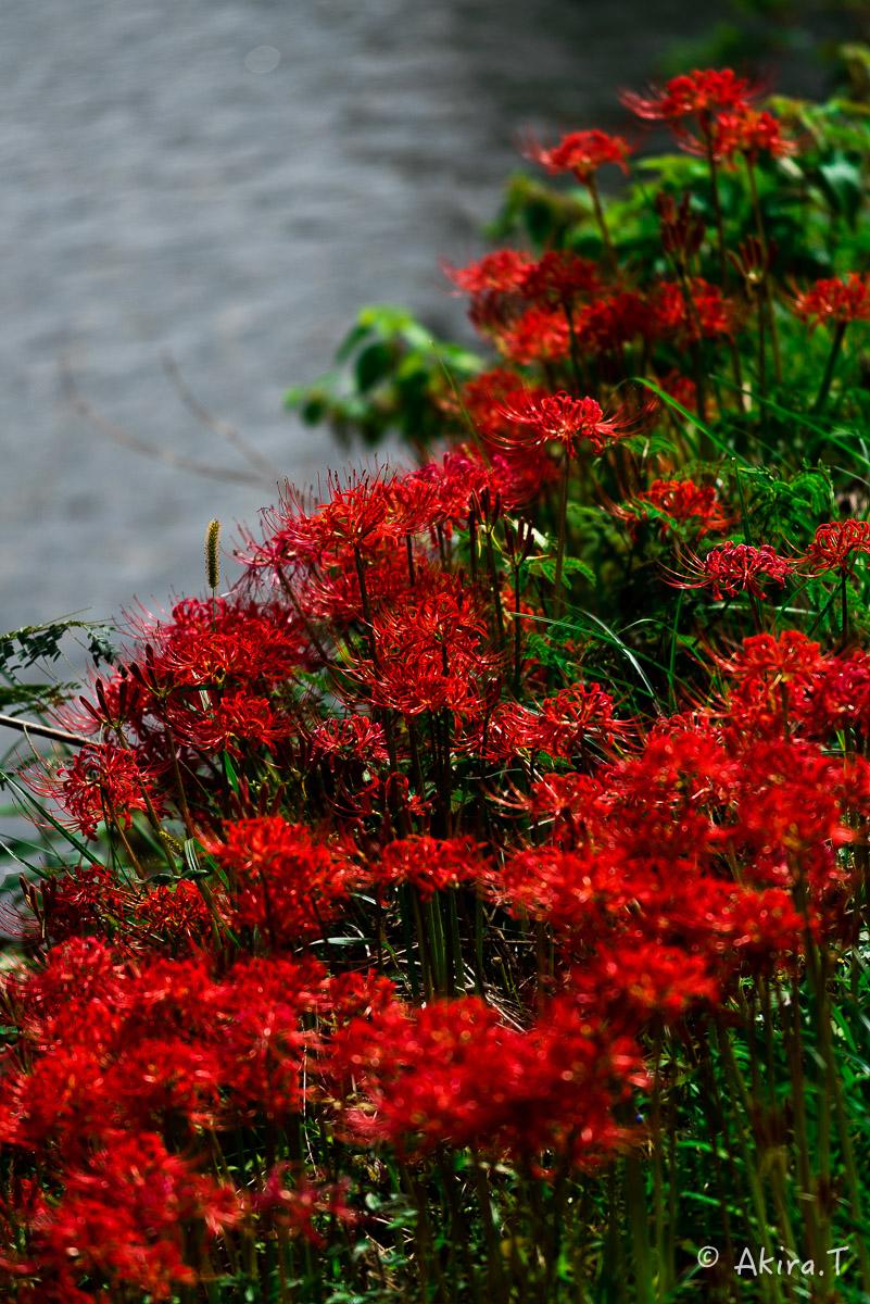 京都 大原の里の彼岸花 -1-_f0152550_18574141.jpg