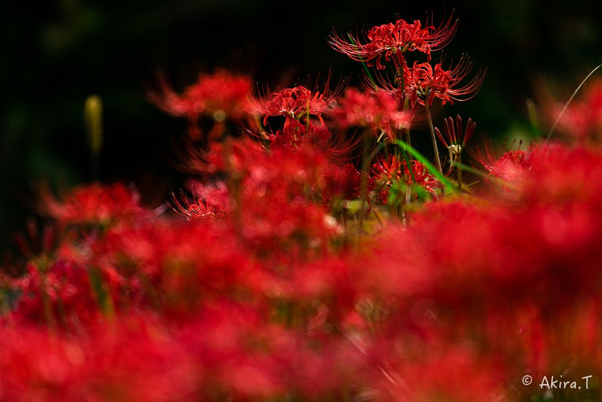 京都 大原の里の彼岸花 -1-_f0152550_1858331.jpg
