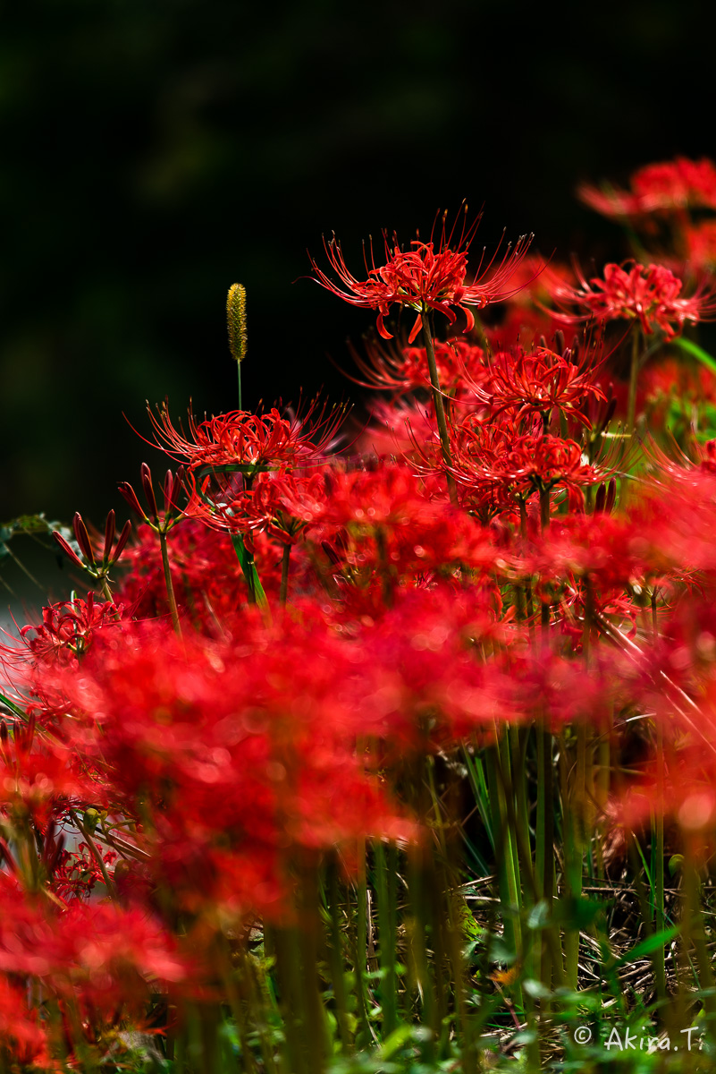 京都 大原の里の彼岸花 -1-_f0152550_18583515.jpg