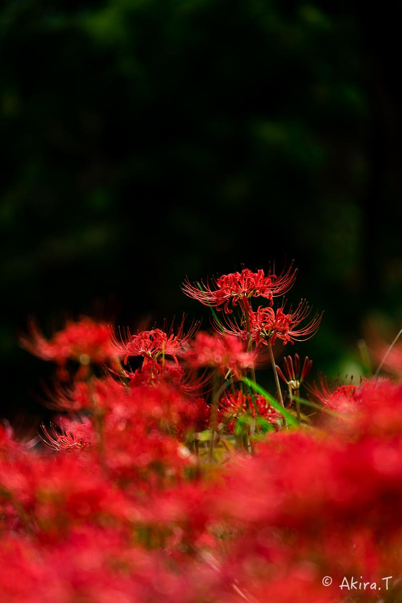 京都 大原の里の彼岸花 -1-_f0152550_18585533.jpg