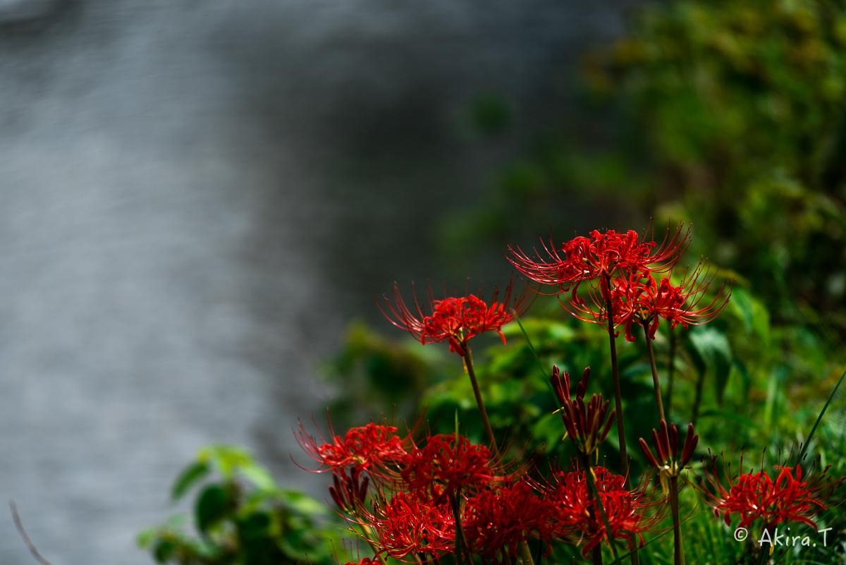 京都 大原の里の彼岸花 -1-_f0152550_18591435.jpg