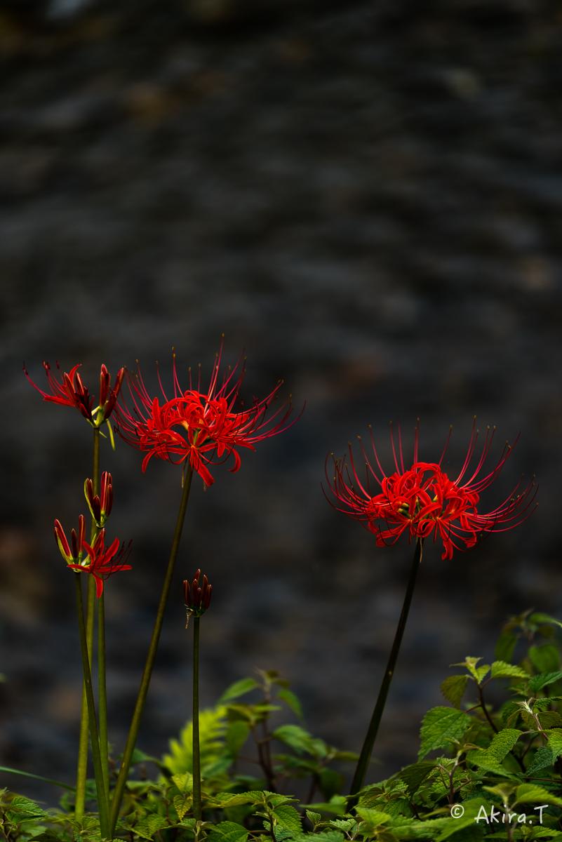 京都 大原の里の彼岸花 -1-_f0152550_1902586.jpg