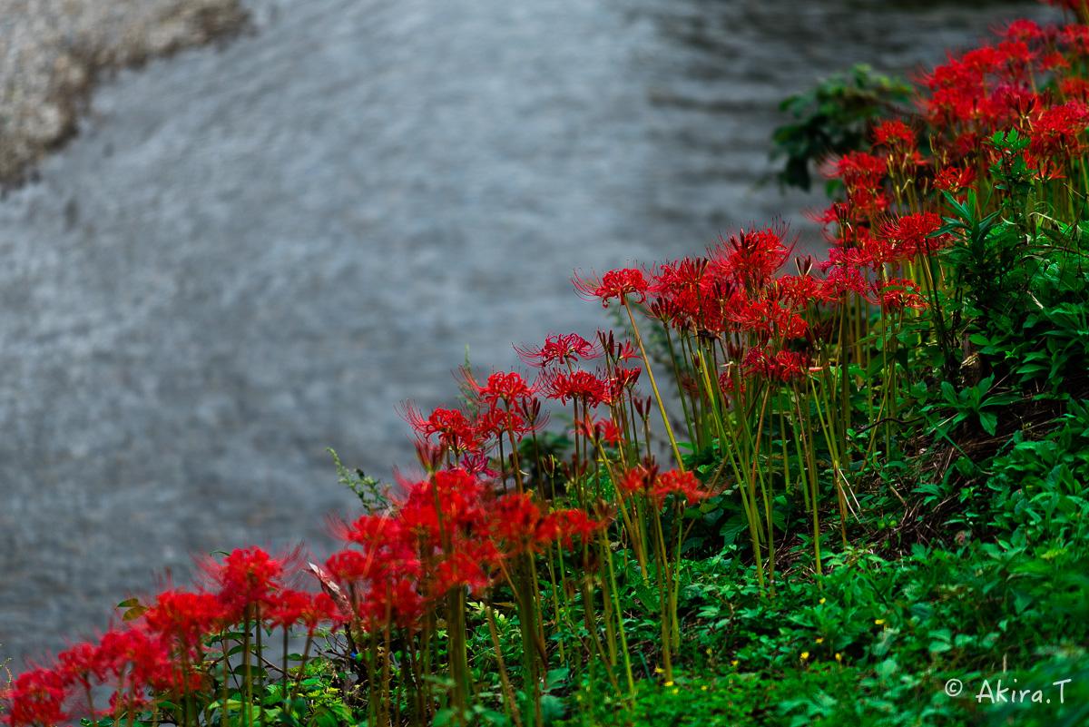 京都 大原の里の彼岸花 -1-_f0152550_1904488.jpg