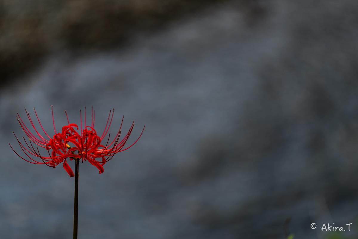 京都 大原の里の彼岸花 -1-_f0152550_190992.jpg