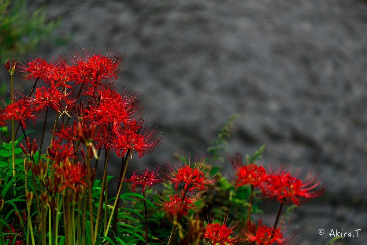 京都 大原の里の彼岸花 -1-_f0152550_1922564.jpg